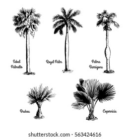 Set of hand drawn tree sketches - Royal Palm, Sabal Palmetto, Palma Barrigona, Brahea, Copernicia. Black silhouettes isolated on white background. Tropical flora. Vector illustration.