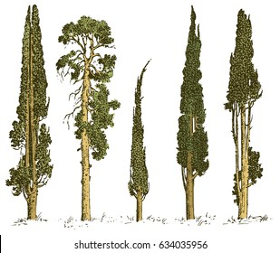 set of hand drawn trees italian cypress and pine isolated vector illustration, engraved symbols of south, evergreen
