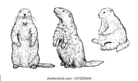 Set of hand drawn vector illustration. Standing straight and sideways, sitting groundhogs. Realistic marmot collection. Groundhog Day holiday elements Vintage outline sketches Engraving style isolated