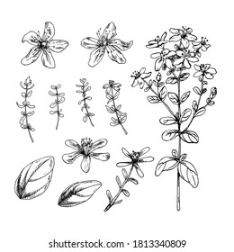 Set of hand drawn vector illustration of St. John's wort. Engraved collection for cosmetics, medicine, treating, aromatherapy, package design healthcare.