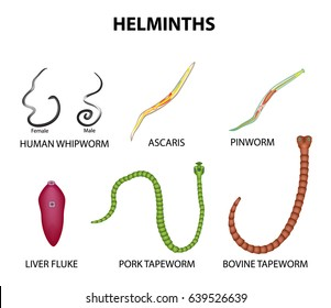 A set of helminths. roundworm, Ascaris, pinworms, bovine tapeworm, pork tapeworm, Whipworm, liver fluke. Infographics Vector illustration on isolated background