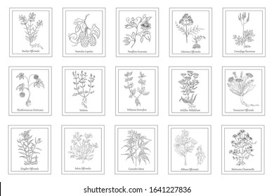 Set of Herbals in Frames with Latin Names. Hand Drawn Hop and Passionflower, Betony, Black Cohosh, Valeriana, Verbena, Ginseng,Yarrow, Dandelion, Marsh-Mallow, Ginger, Sage, Cannabis and Daisy