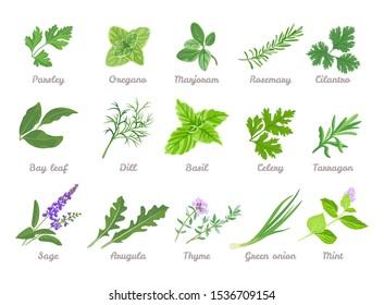 Set of herbs isolated. Green leaves of Parsley, Oregano, Marjoram, Cilantro, Celery, Bay leaf, Dill, Basil, Rosemary, Tarragon, Sage, Arugula, Green onion, Mint, Thyme. Vector cartoon illustration.