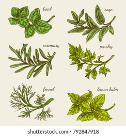 Set of herbs for kitchen. Basil, sage, rosemary, parsley, fennel, lemon balm. Color card. Engraving style. Vector illustration.
