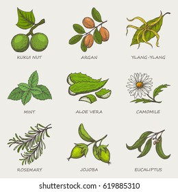 Set of herbs and plants hand drawn icons that are used in cosmetics and natural medicine. Vector illustration