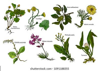 Set herbs: Turmeric, Silene viscaria, Acca sellowiana, Cloudberry, Adonis vernalis, Primula veris, Tussilago farfara, Orthilia secunda