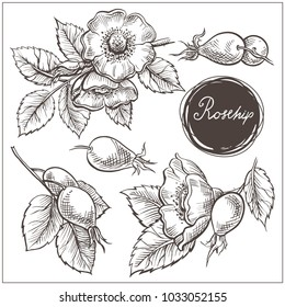 Set of hip rose flowers, buds, berry and branches. Vintage botanical engraved illustration. Vector hand drawn natural elements. Sketch style.