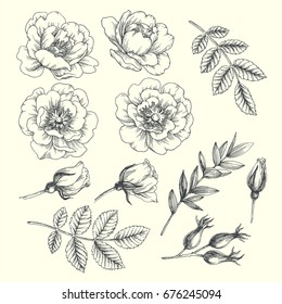 Set of hip rose flowers, buds, berry and branches. Vintage botanical engraved illustration of briar. Vector hand drawn natural elements. Sketch style.