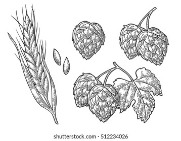 Set hop herb plants with leaf and Ear of barley. Isolated on white background. For poster with production process brewery beer or whiskey. Vector color vintage engraved illustration.