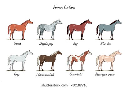 Set of horse color chart.  Equine coat colors with text. Equestrian scheme. Bay, sorrel, chestnut, grey, blue dun, dapple, blue dun types of horses. Vector cartoon hand drawn illustration.