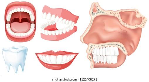 Human Teeth Images, Stock Photos & Vectors | Shutterstock