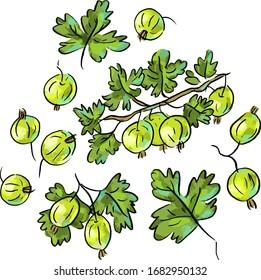 Set illustration with gooseberry, vegan illustration. green, botanical illustration