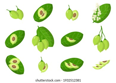 Set of illustrations with Kakadu plum exotic fruits, flowers and leaves isolated on a white background. Isolated vector icons set.
