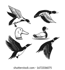 Set of illustrations of wild duck. Duck in flight, duck swimming on water. Design element for logo, label, sign, poster, card, banner. Vector illustration