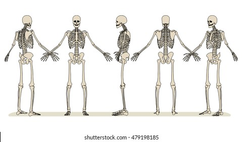 Set of images of the human skeleton in different angles. Vector illustration