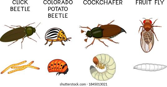 Set of insect pests of agricultural plants (click beetle, colorado potato beetle, cockchafer and fruit fly) isolated on white background