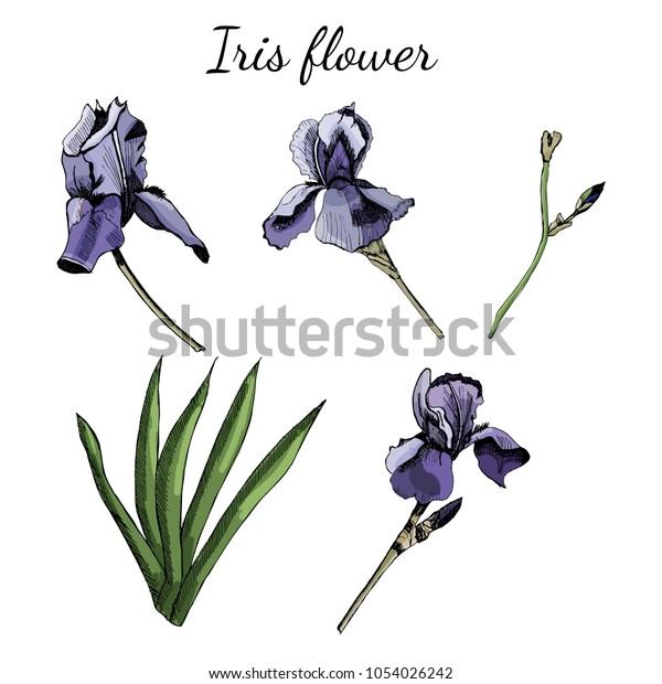 Set with iris flowers with leaves. Hand drawn and  colored sketch isolated on white background. Vector illustration.