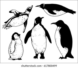 set of isolated hand drawn penguin contours