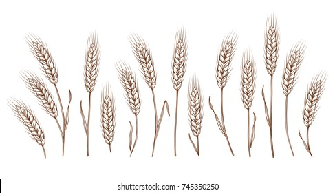 Set of isolated hand drawn wheat ears on white background. Vector illustration