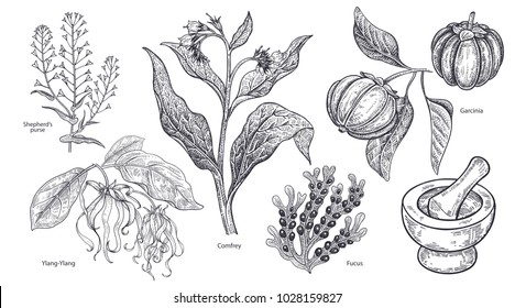 Set of isolated medical plants, flowers and herbs. Ylang-Ylang, shepherd's purse, comfrey, fruit garcinia, algae fucus, mortar and pestle. Vintage engraving. Vector illustration art. Black and white.