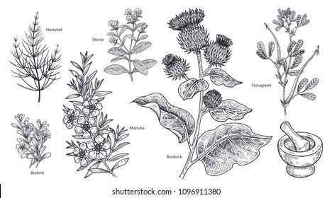 Set of isolated medical plants, flowers and herbs. Burdock, manuka, fenugreek, stevia, brahmi, horsetail, mortar and pestle. Vintage engraving. Vector illustration. Black and white.
