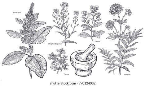 Set of isolated medical plants, flowers and herbs. Valerian, stevia, amaranth, shepherd's purse, thyme, mortar and pestle. Vintage engraving. Vector illustration art. Black and white. Hand drawn.