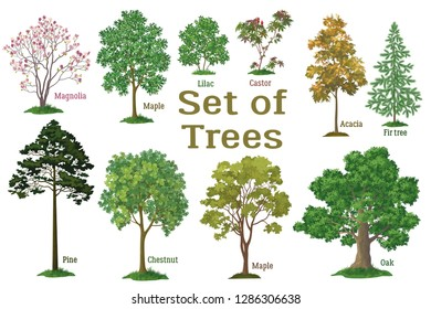 Set Isolated on White Background Spring and Summer Plants, Trees and Bushes, Magnolia, Maple, Lilac, Castor, Acacia, Fir, Pine, Chestnut, Maple Oak and Green Grass Vector