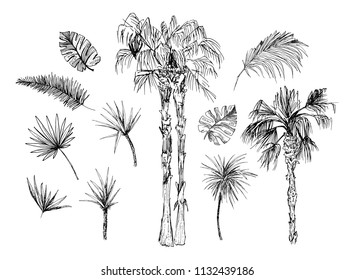 Set of isolated sketched coconut or queen palm trees with leaves. Beach and rainforest, desert coco flora. Foliage of subtropical fern. Green palmae or jungle arecaceae. Botany, environment theme