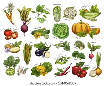 Set of isolated vegetables from farm. Carrot and beetroot, radish and spinach, pekin or chinese cabbage, squash and cauliflower, tomato and cucumber, potato and corn. Agriculture and harvest theme