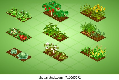 Set of isometric vegetables with two stages of growth, as tomatoes, cucumbers, cotton, sunflower, carrots, corn, strawberries, cabbage and potatoes.  Isolated Vector Illustration on color background.