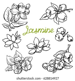 Set Jasmine flowers. Hand drawn sketch graphics elements