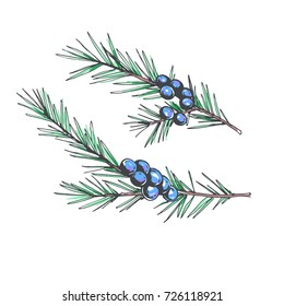 Set of juniper branches. Vector hand drawn botanical illustration with coniferous stem with seeds isolated on white