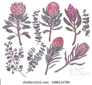 Set of king and queen tropical protea and eucalyptus. Vector hand drawn sketch botanical illustration. Bundle of exotic african flower and brinchex with green leaves