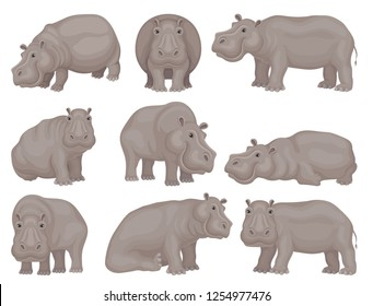 Set of large gray hippo in different actions. African animal. Wild creature. Wildlife theme. Flat vector design