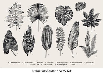 Set Leaf. Exotics. Vintage vector botanical illustration. Black and white.