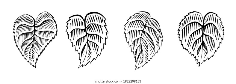 Set of leaves in woodcut style. Vintage. Engraving vector illustration