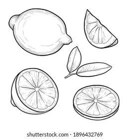 Set of lemons. Citrus fruit drawing. Isolated vector illustration.