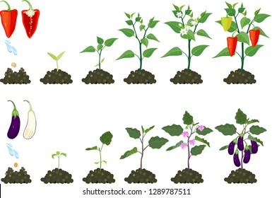 Set of life cycles of agricultural plants. Growth stages of pepper plant and eggplant