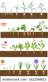 Set of life cycles of vegetable plants (garlic, radish, carrot and onion). Stages of vegetable plant growth from seed and sprout to harvest isolated on white background