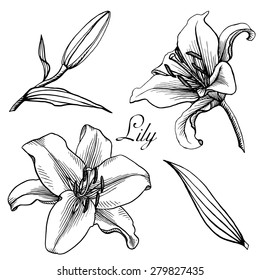 Set of lilies isolated on white background. Hand drawn vector illustration.
