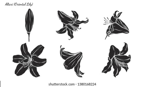0263f0342 Set of Lily vector by hand drawing.Beautiful flower on white  background.Black spider