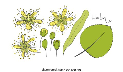 A set of linden. Isolated elements of the Tilia. Leaves, flowers and buds of basswood. Vector limetree or lime tree