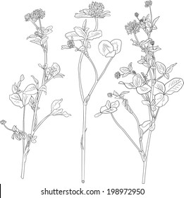 Set of line drawing clovers, wild flovers, hand drawn vector illustration