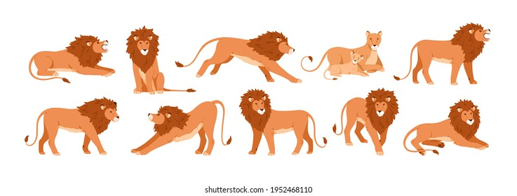 Set of lions, lioness and their cub resting, lying, standing, roaring, sitting and walking. Jungle feline animal in different poses. Colored flat vector illustration isolated on white background