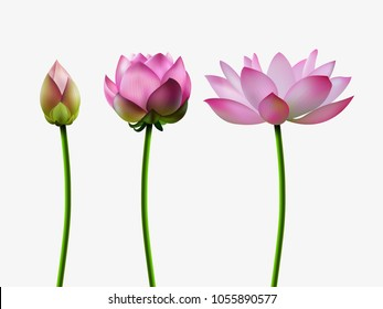 A set of lotus blossoms, stages of bud opening, a beautiful flower, an aquatic plant. 3D design. Vector illustration. EPS10