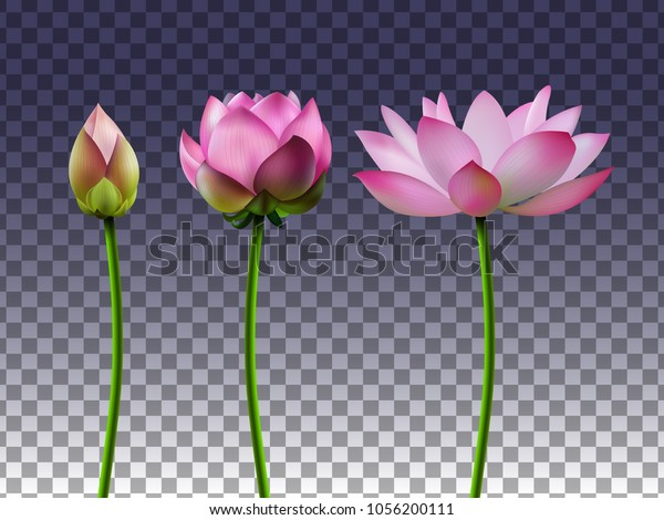 Set Lotus Flowers On Transparent Background Stock Vector Royalty