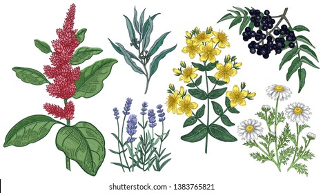 Set of medical herbs. Amaranth, St. John's wort, chamomile, lavender, eucalyptus and Amur cork tree. Colored plants isolated on white background. Alternative medicine series. Vector. Vintage engraving