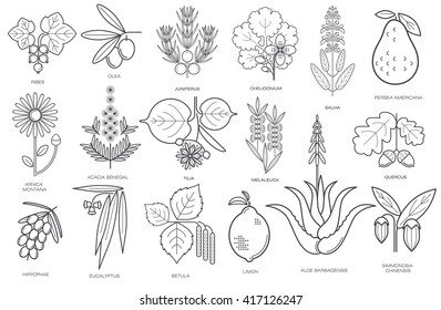 Set of medical herbs, plants, flowers, berries. Currant, olive, juniper, celandine, sage, avocado, arnica, acacia, linden, tea tree, oak, buckthorn, eucalyptus, birch, lemon, aloe, jojoba. Vector