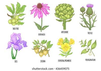 Set of medical herbs. Shea tree, echinacea, artichoke, thistle, iris flower, jojoba, evening primrose, polygonatum. Illustration of colorful graphics isolated on white background. Vector.