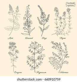 Set of medical plants Mint, Chamerion, fireweed, willow herb, Sage, Thyme, Oregano, Hypericum, Artemisia absinthium, absinthe wormwood hand drawn vintage sketch vector isolated, Doodle Healing herbs